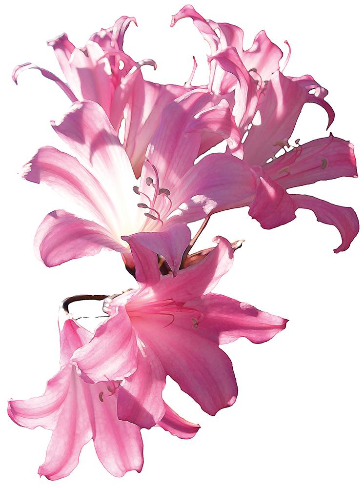Ellen-Lilies-Option